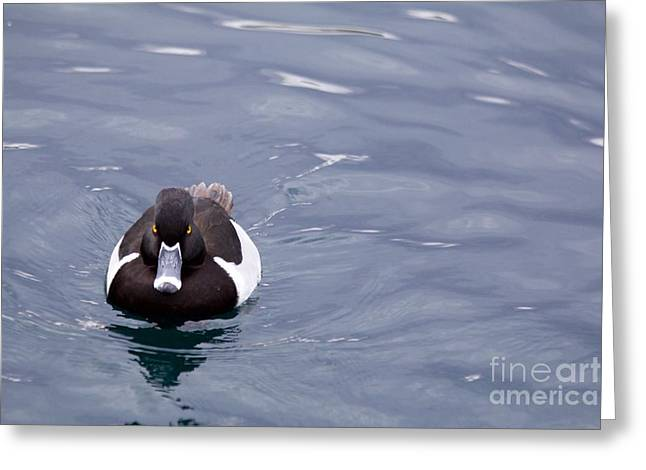 Ring-necked Duck Greeting Card by Afrodita Ellerman