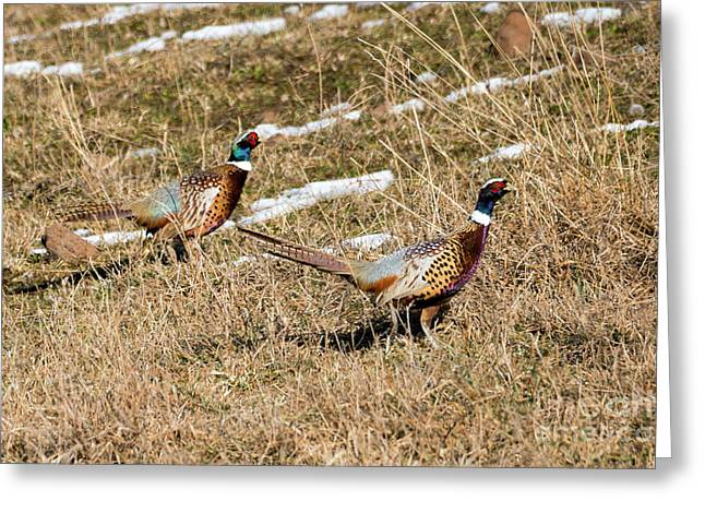 Ring-necked Pheasant Pair Greeting Card by Mike Dawson