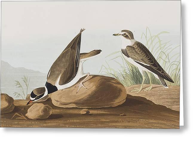 Ring Plover  Greeting Card by John James Audubon