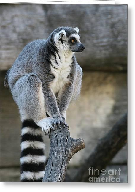 Ring-tailed Lemur #7 Greeting Card