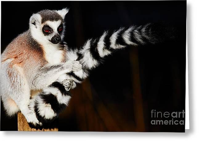 Ring-tailed Lemur  Greeting Card by Nick Biemans