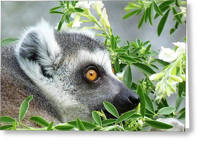 Ring-tailed Lemur Watching His Group  Greeting Card
