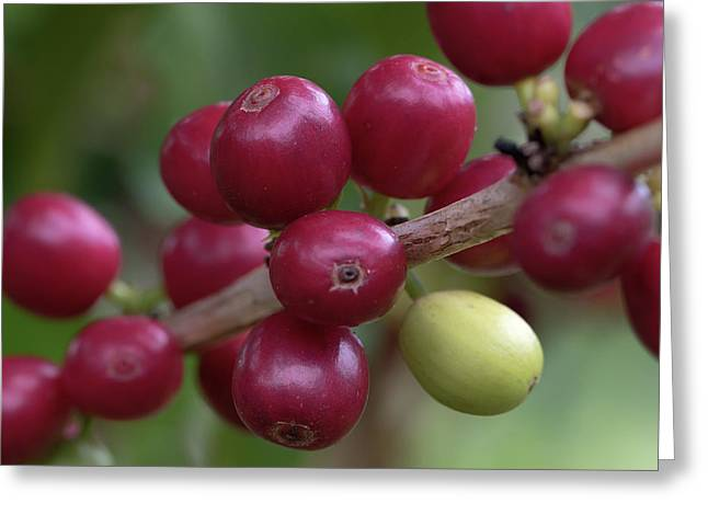 Greeting Card featuring the photograph Ripe Kona Coffee Cherries by Susan Rissi Tregoning