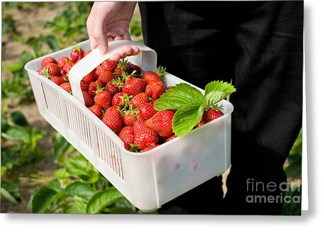 Ripe Strawberries In White Plastic Punnet  Greeting Card by Arletta Cwalina