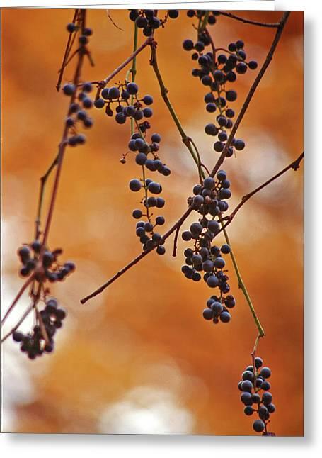 Ripe Wild Grapes  Greeting Card