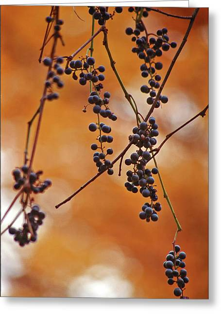 Ripe Wild Grapes  Greeting Card