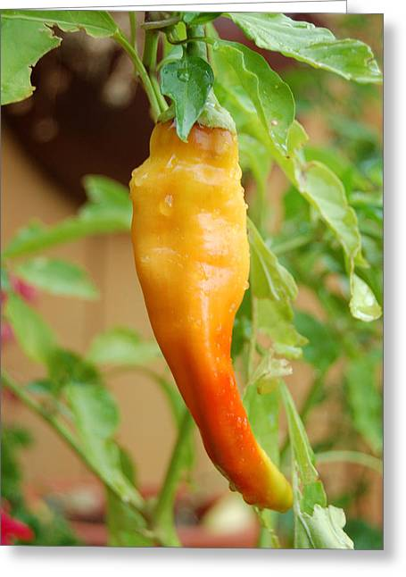 Ripening Chile Greeting Card