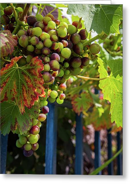 Greeting Card featuring the photograph Ripening Grapes by Geoff Smith