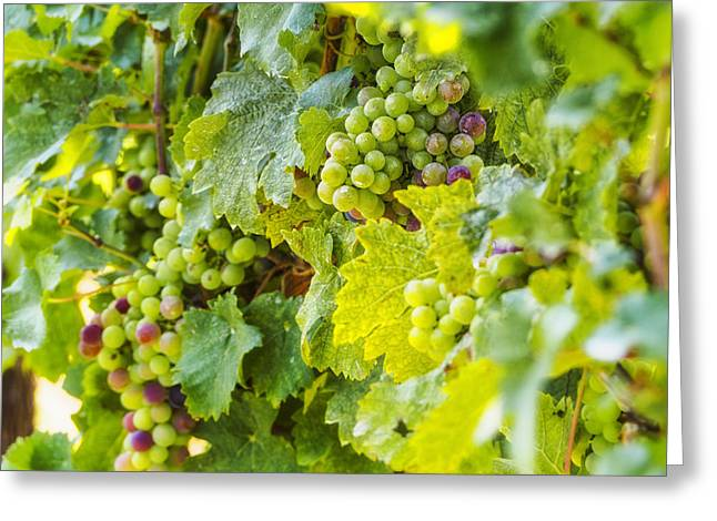 Ripening Grapes Greeting Card by Marianne Campolongo