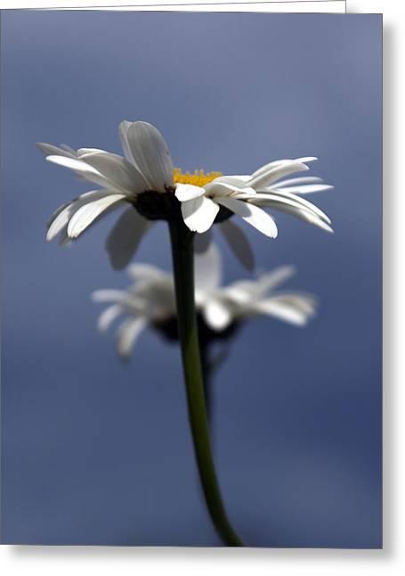 Rising Daisies Greeting Card by Elsa Marie Santoro