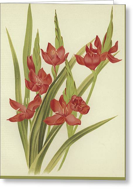 River Lily Or Crimson Flag Greeting Card
