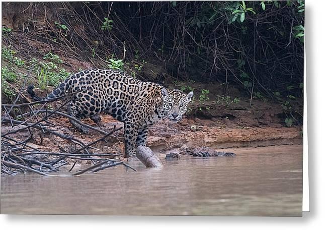 Greeting Card featuring the photograph Riverbank Jaguar by Wade Aiken