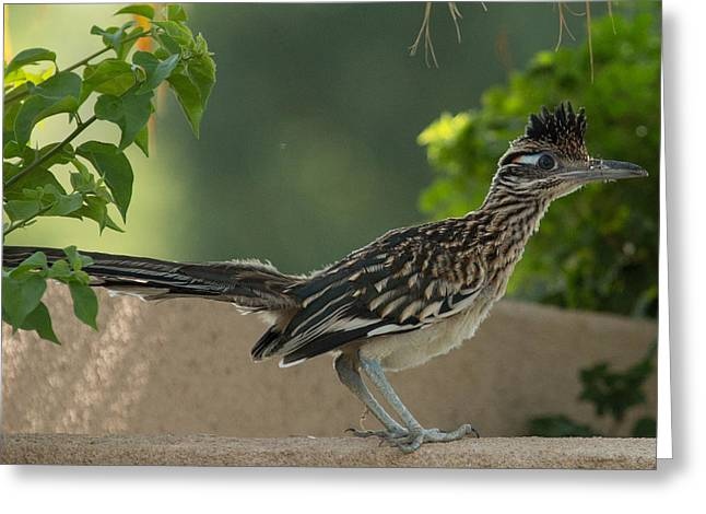 Roadrunner Closeup Greeting Card