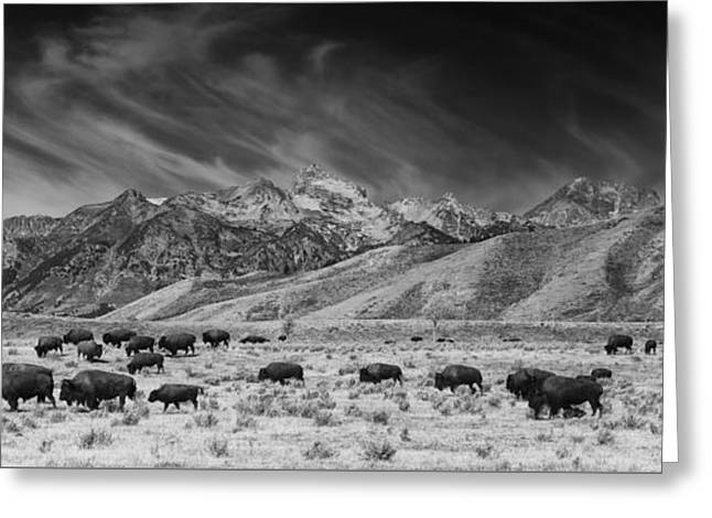 Roaming Bison In Black And White Greeting Card by Mark Kiver