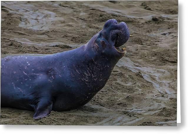 Roaring Bull Elephant Seal Greeting Card by Garry Gay