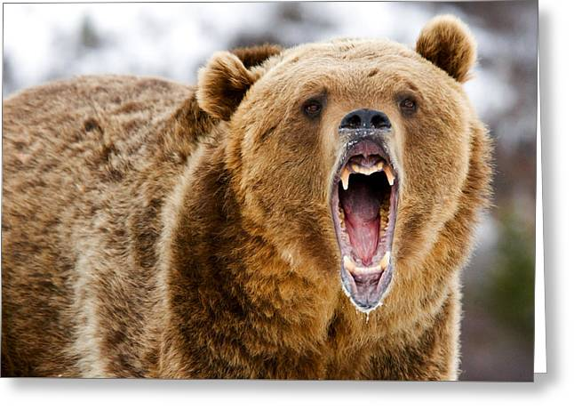 Roaring Grizzly Bear Greeting Card
