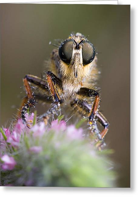 Robberfly Greeting Card by Andre Goncalves