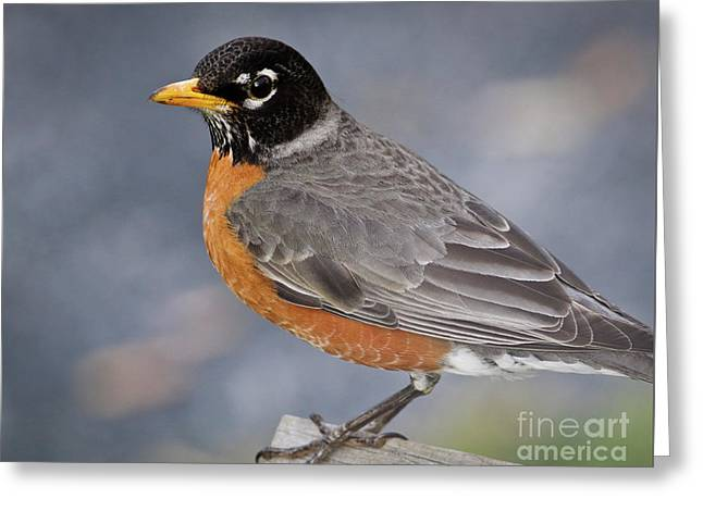 Greeting Card featuring the photograph Robin by Douglas Stucky