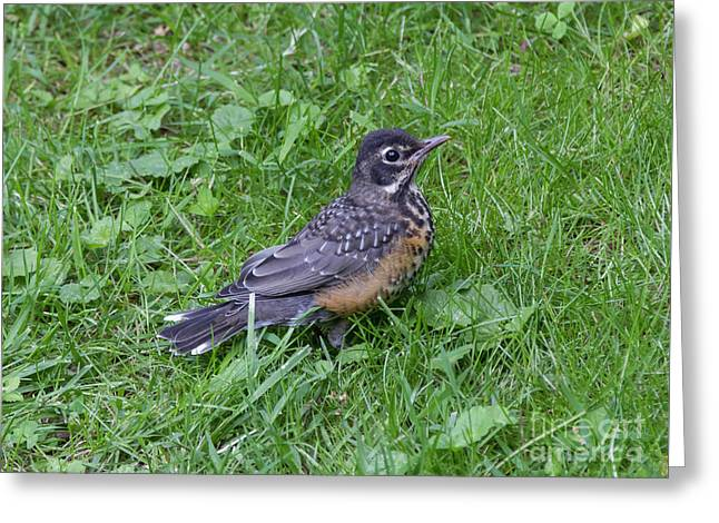 Greeting Card featuring the photograph Robin Fledgling by Chris Scroggins