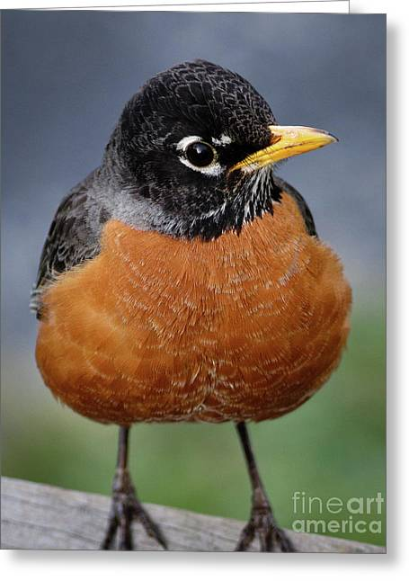 Greeting Card featuring the photograph Robin II by Douglas Stucky