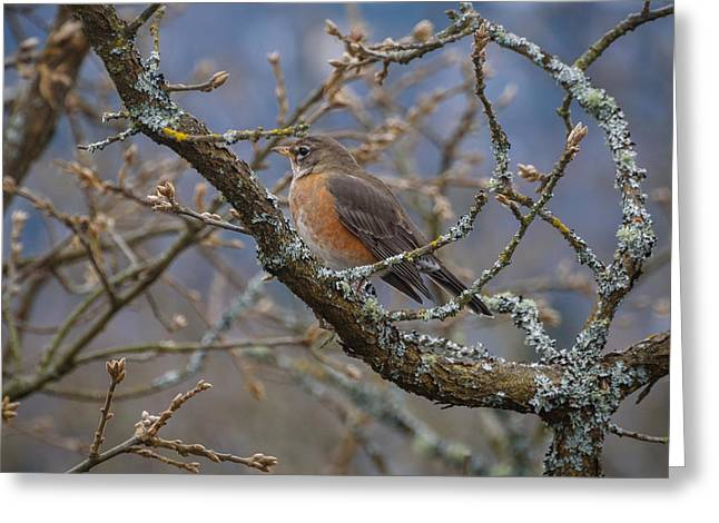 Robin In A Tree Greeting Card