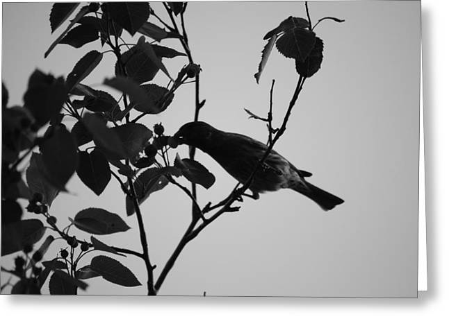 Robin In Black And White  Greeting Card by Michelle  BarlondSmith