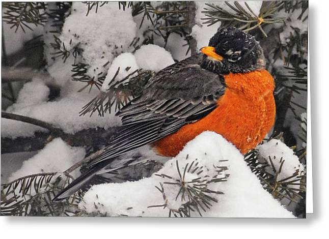 Robin In March Snowstorm In Michigan Greeting Card