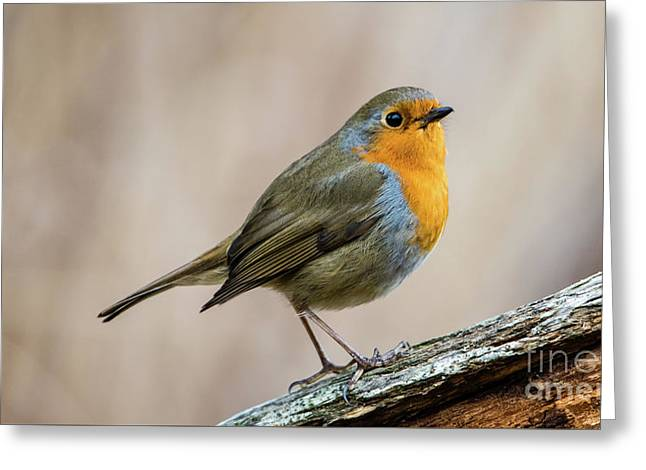 Robin In Spring Greeting Card by Torbjorn Swenelius