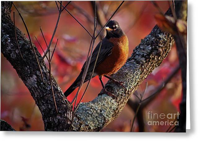 Greeting Card featuring the photograph Robin In The Dogwood by Douglas Stucky