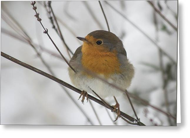 Robin In The Snow Greeting Card