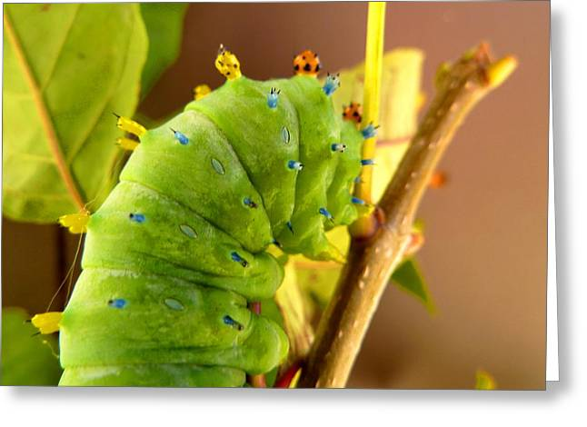 Greeting Card featuring the photograph Robin Moth Caterpillar by Claire Bull