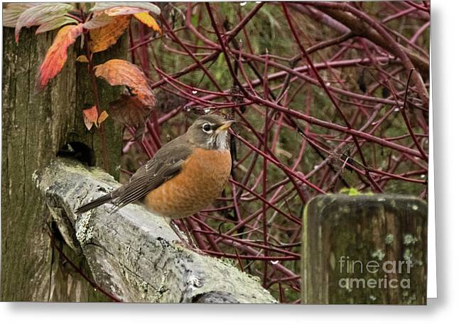 Robin On A Seattle Winter Day Greeting Card