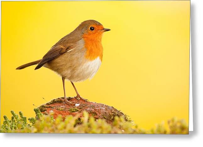 Robin On Yellow Greeting Card