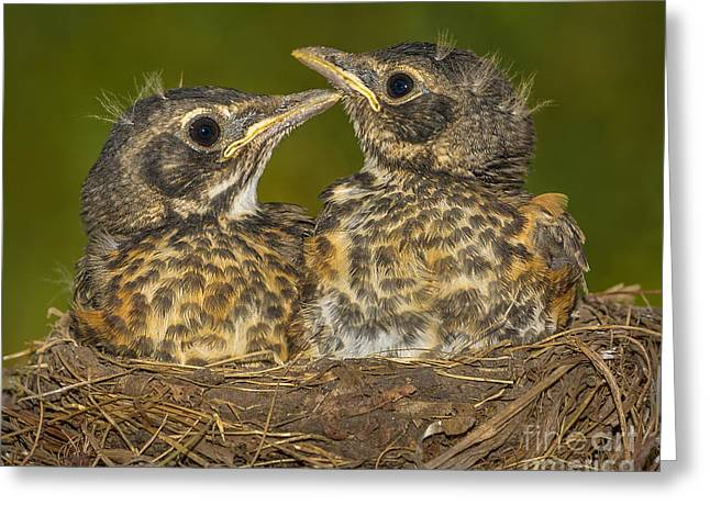 Robins Growing Out Of Nest Greeting Card by Jerry Fornarotto