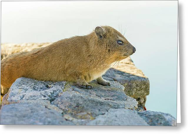 Rock Hyrax On Table Mountain Cape Town South Africa Greeting Card