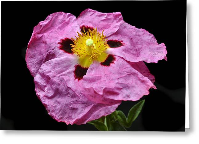 Rock Rose Greeting Card by Terence Davis