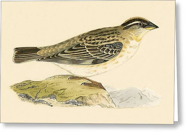 Rock Sparrow Greeting Card by English School