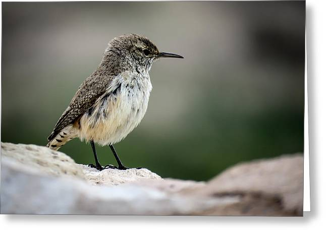 Rock Wren Greeting Card