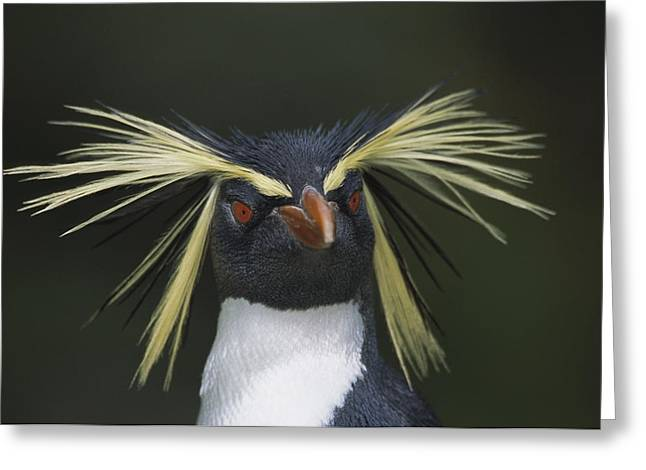 Seabirds Greeting Cards - Rockhopper Penguin Eudyptes Chrysocome Greeting Card by Tui De Roy