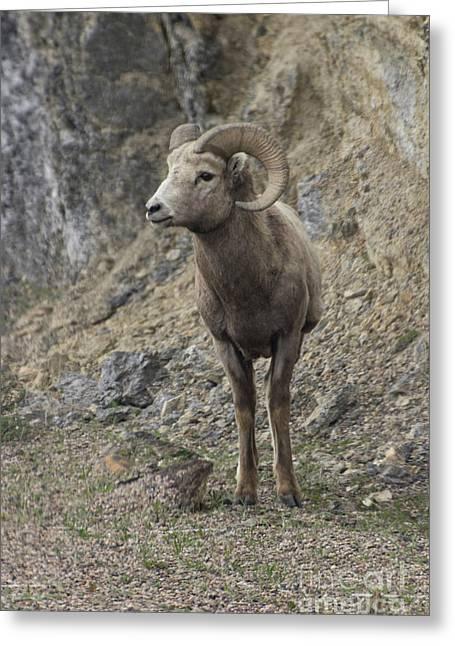 Rockies Big Horn Greeting Card