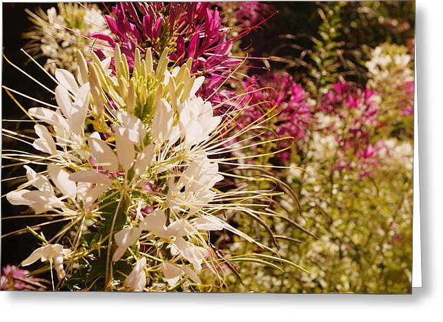 Rocky Mountain Bee Plant Greeting Card by Beth Collins