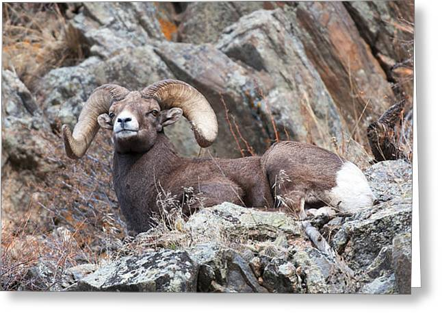 Rocky Mountain Big Horn Ram On Watch Greeting Card by Gary Langley