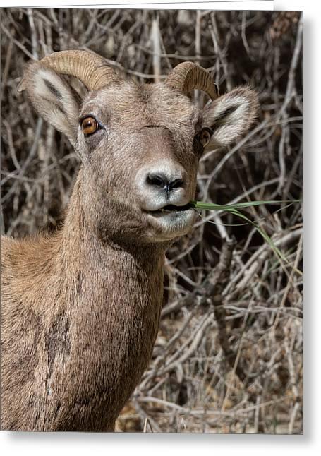 Rocky Mountain Bighorn Ewe Greeting Card