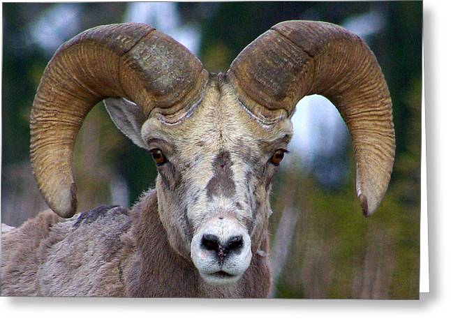 Greeting Card featuring the photograph Rocky Mountain Bighorn by Jack Moskovita
