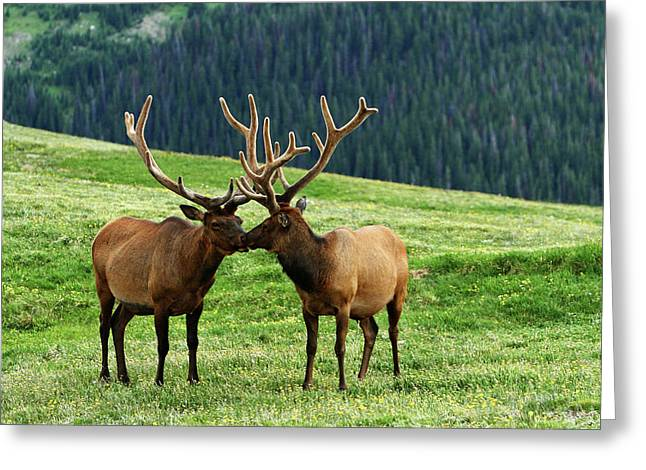 Greeting Card featuring the photograph Rocky Mountain Elk 2 by Marie Leslie