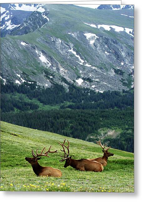 Greeting Card featuring the photograph Rocky Mountain Elk 5 by Marie Leslie