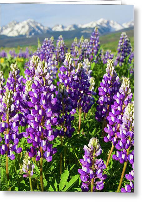 Rocky Mountain Lupines  Greeting Card by Aaron Spong
