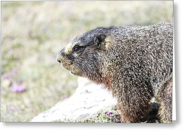 Rocky Mountain Marmot In Spring Greeting Card