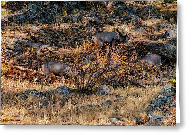 Rocky Mountain National Park Deer Colorado Greeting Card