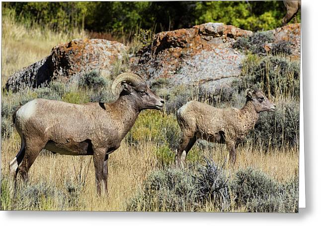 Rocky Mountain Ram With Lamb Greeting Card by Kathleen Bishop